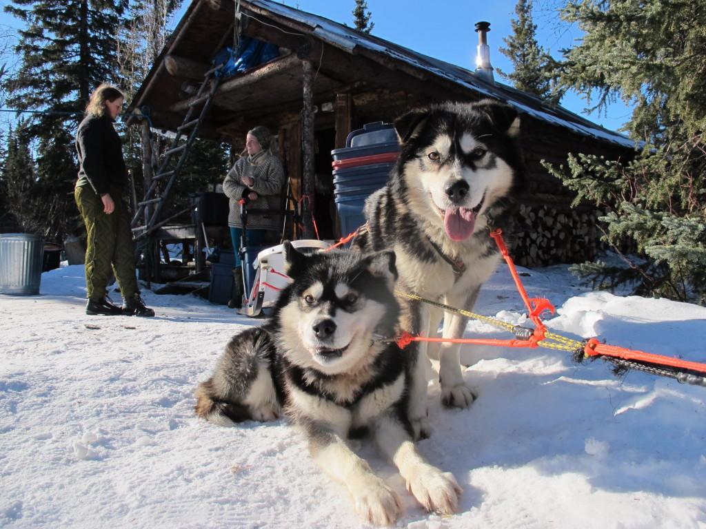 I mars starter verdens lengste hundeløp: Iditarod. Takotna er et sentralt sjekkpunkt, omtrent halvveis i det 180 mil lange løpet, og kursdeltakerne vil få jobbe som frivillige her.