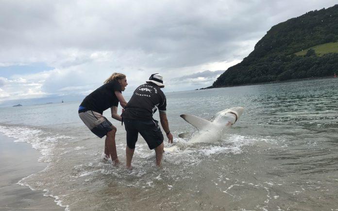 To unge menn fanger en hai i New Zealand