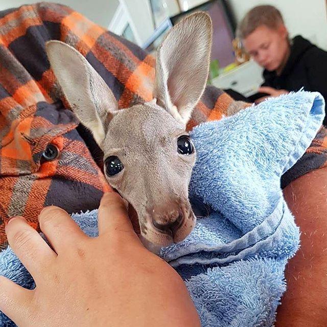 Folkehøgskole på studietur til Australia. Bilde av kengurubaby